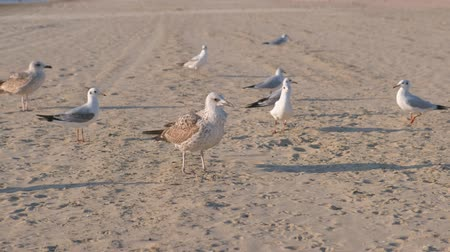 mobbing : Birds crows and seagulls eat bread on the sandy beach.