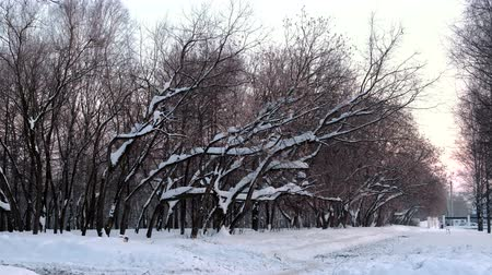akşam vakti : Snow drifts on the branches of trees in the winter Park. Stok Video