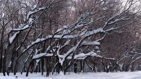 alkony : Snow drifts on the branches of trees in the winter Park in alley of trees Stock mozgókép