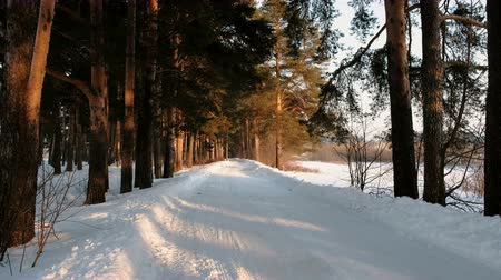 snow covered spruce : Snow-covered road in the winter forest. Sunlight through the trees.