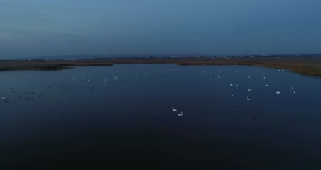 swan silhouette : White swans swim in the pond at night in the dark. Beautiful aerial footage in autumn. Stock Footage