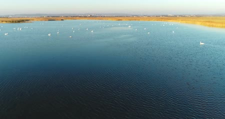 kamış : Pond with swans on city background, aerial footage at sunset. Stok Video