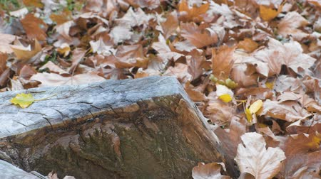 eylül : Stump beautiful shape among the yellow leaves in the fall. Stok Video