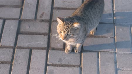 grey eyes : Striped gray cat goes on the paving on the street.