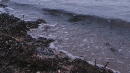 coletando : Kamka seaweed on the sand beach at sunset. Stock Footage