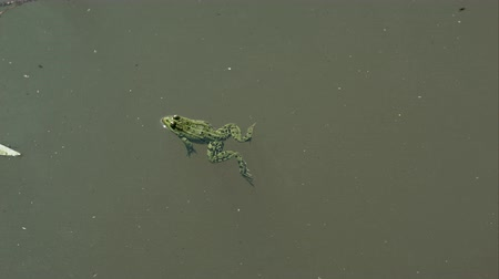 anuran : Frog swimming in green dirty water of swamp with different vegetations