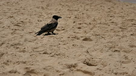 Crow standing on the sand beach Stok Video