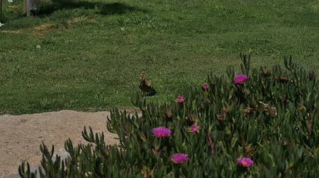 presa : Hoopoe bird sitting in the green grass