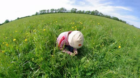 joaninha : boy searches for bug in herb on meadow with dandelion