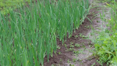 reclaim : view of chive on the field.plantation onions under heavy rain  Stock Footage