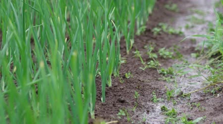 reclaim : view of chive on the field.plantation onions under heavy rain