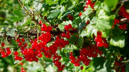delicioso : Ripe red currants hanging from bush ready for harvest.