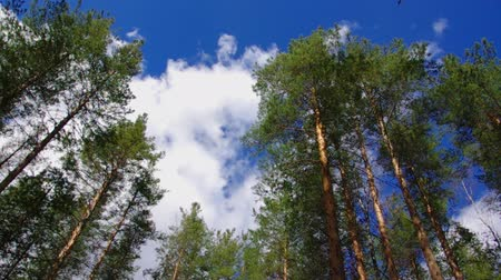 pinho : pine forest under cloudy blue sky