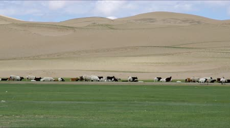 moğolistan : Sands Mongol Els, Herd of animals grazed on the grass Stok Video