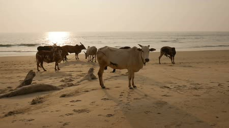 sea cow : Group of cows are walking on the beach Stock Footage