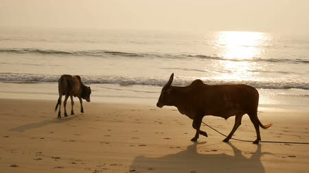 Group of cows are walking on the beach Wideo
