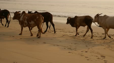 Group of cows are walking on the beach Dostupné videozáznamy