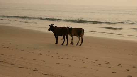 buzağı : Group of cows are walking on the beach Stok Video
