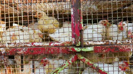 Chickens transport in cramped cage on a pickup Wideo