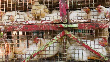 chicken coop : Chickens transport in cramped cage on a pickup Stock Footage