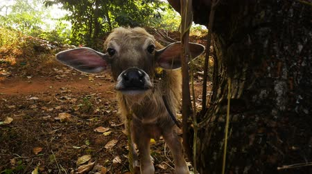 A young cow in the forest Wideo