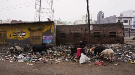 wasteland : Animals on the street are eating in garbage Stock Footage