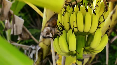 clima tropical : Bananas on the tree stock footage