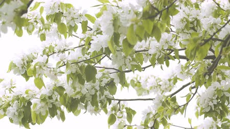 pereira : UHD graded closeup shot of the blossoming pear tree