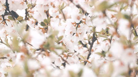UHD graded closeup shot of the blossoming cherry tree Wideo