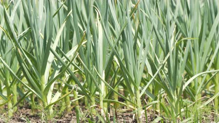 aromatik : UHD closeup shot of the ripening green garlic sprouts