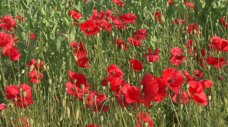 Flowering red poppies in the field