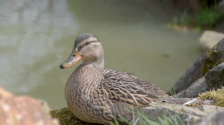 Anas platyrhynchos. Wild duck standing on a stone near a pond.