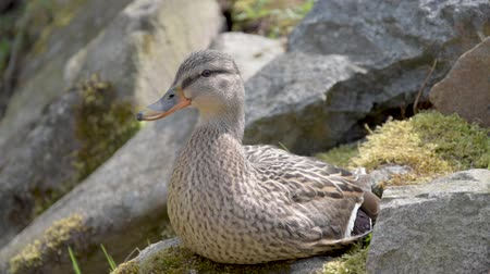 Anas platyrhynchos, A wild duck sitting on a moss-covered stone Стоковые видеозаписи