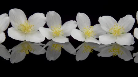 крупные планы : Jasminum. Jasmine flowers with reflection on black glass. Black background. Slider shot.