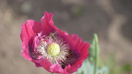 Bees pollinate the red poppy. Sunny day.