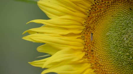 Sunflower is moving in the wind. Young blossoming sunflower plant close up. Sunny day.