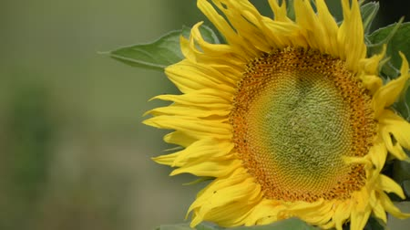 sunflower seed : Sunflower is moving in the wind. Young blossoming sunflower plant close up. Sunny day.