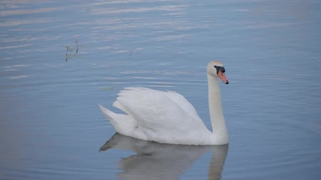 The swan sails to the pond, observes the surroundings