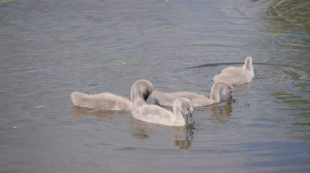 Young swans sail over the pond and hunt in the water.