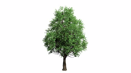 büyüyen : 3D realistic tree isolated on white with alpha channel to be used for architecture visualization or motion graphics or any other video. Stok Video