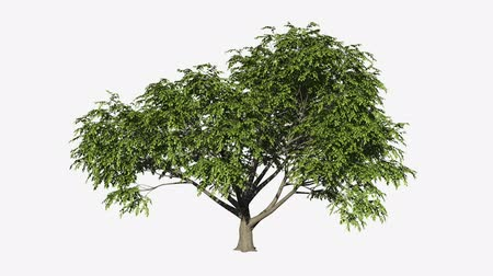 pień : Looping 3D realistic growing tree isolated on white to be used for architecture visualization or motion graphics or any other video.