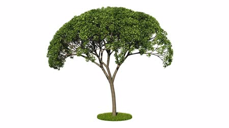Looping 3D realistic growing tree isolated on white to be used for architecture visualization or motion graphics or any other video.
