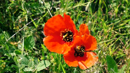 Two Bees collecting nectar pollen on red poppy flower