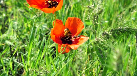 Flower of red poppy with a big bee collecting pollen