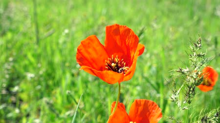 Flower of red poppy with a bee collecting pollen and washing