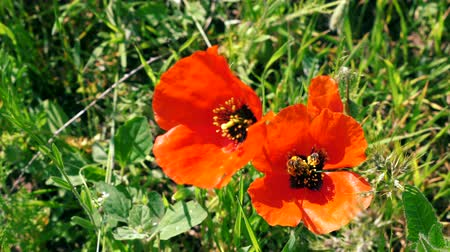 close up of Two Bees collecting nectar pollen on red poppy flower