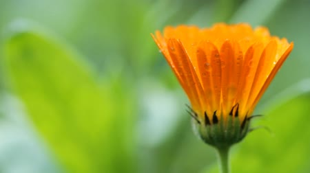 stokrotki : Flower of calendula