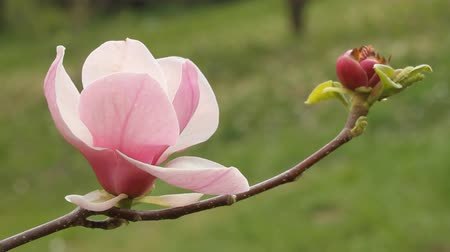 dal : flower of magnolia tree Stok Video