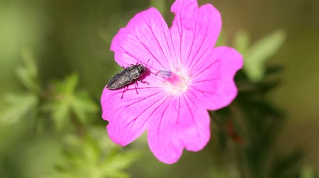 герань : geranium and bug