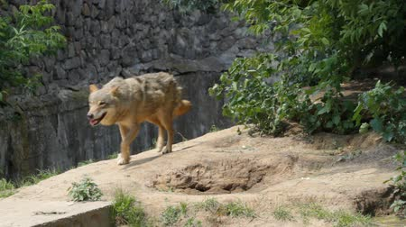 wilk : wolf, canis lupus running Wideo